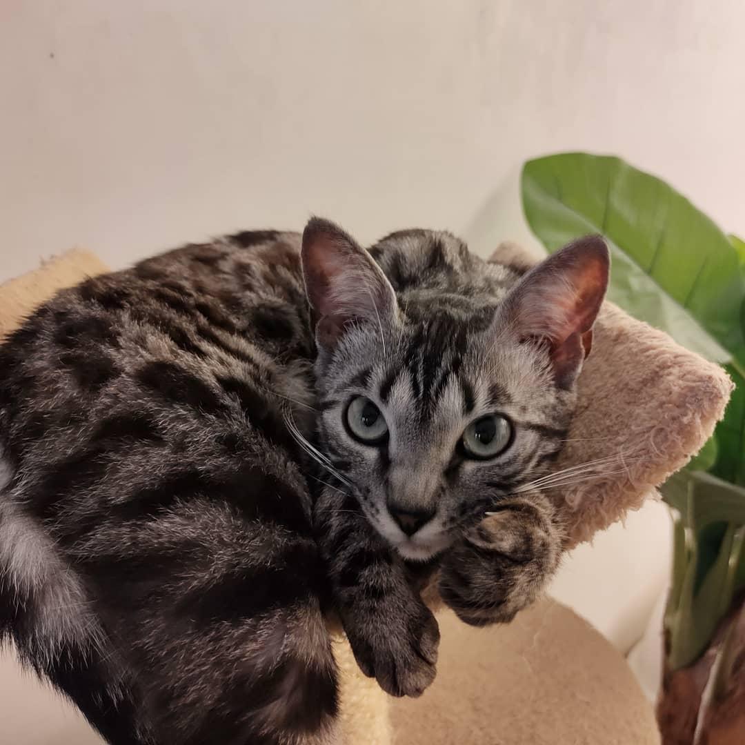 Un chat Bengal couché sur le bord d'un fauteuil.
