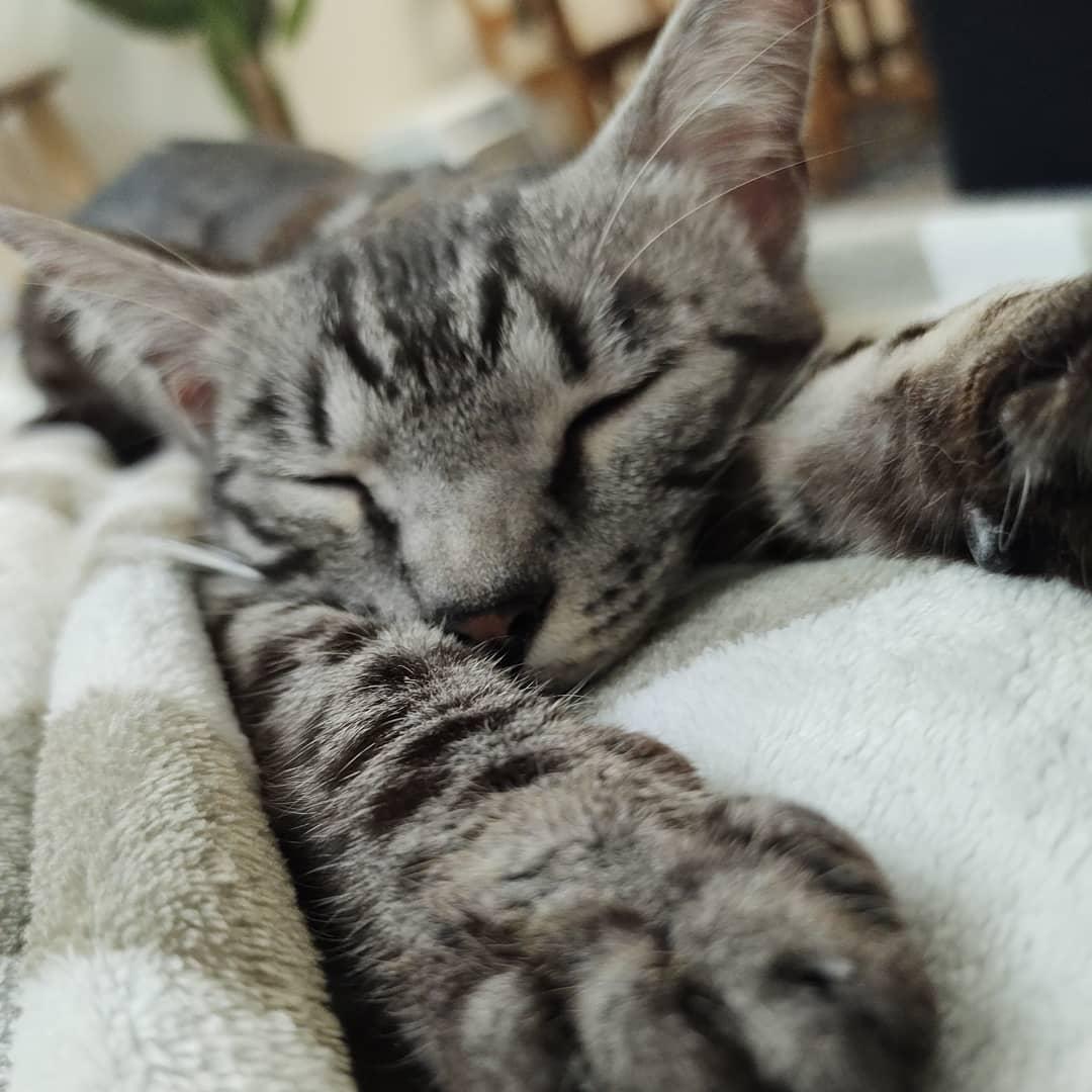 Un chat Bengal dort recouvert d'une couette.