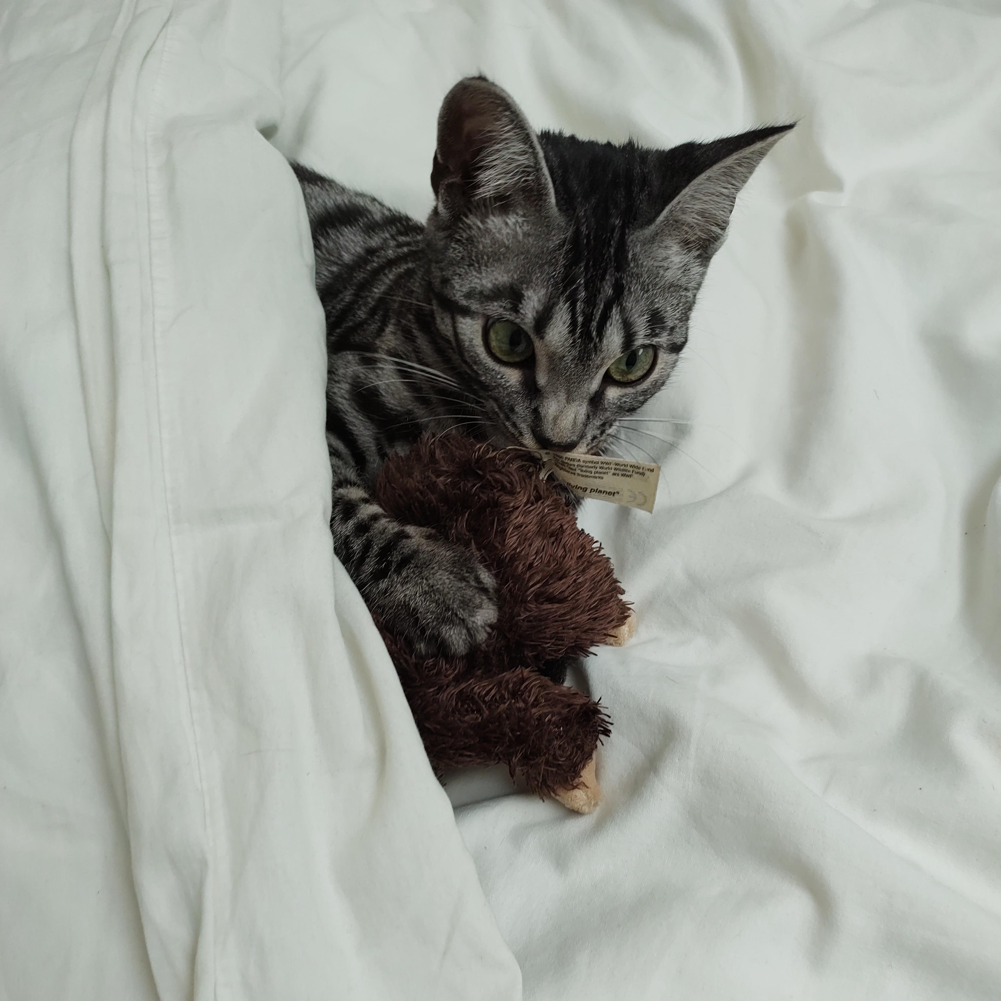 Un chat Bengal couché regarde l'appareil qui le prend en photo.